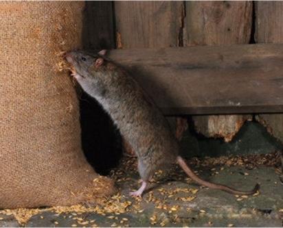 Baratas e Ratos