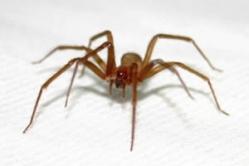 Controle de pragas - Aranha marrom (Arachnida)