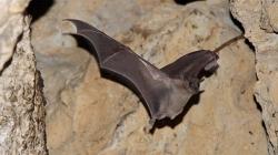 Controle de pragas - Morcego (Tadarida brasiliensis)