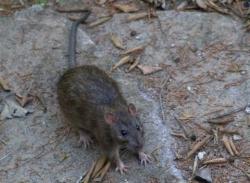 Controle de pragas - Ratazana (Rattus norvergicus)