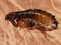 Controle de pragas - Pulga (Ctenocephalides canis)