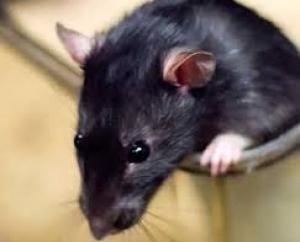 2. Desratização (controle de roedores)